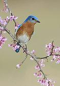 Eastern Bluebird (Sialia sialis), Texas, USA