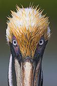 Brown Pelican (Pelecanus occidentalis), Florida, USA