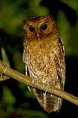 Rufescent Screech Owl (Megascops ingens), Manu National Park, Peru