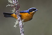 Chestnut-bellied Mountain Tanager (Dubusia castaneoventris), Bosque Unchog Reserve, Peru