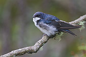 Blue-and-white Swallow (Pygochelidon cyanoleuca), Abra Patricia Protected Area, Peru