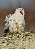 Snowy Owl (Bubo scandiacus), British Columbia, Canada