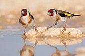 European Goldfinch (Carduelis carduelis), North Dalmatia, Croatia