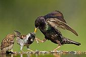 Etourneau sansonnet (Sturnus vulgaris) malmenant un Moineau domestique (Passer domesticus) au point d'eau, Allemagne