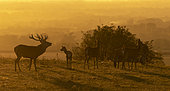 Red deer (Cervus elaphus) stag and hinds in a meadow at sunset