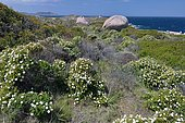 Montpellier Cistus (Cistus monspeliensis), in the distance, the Genoese tower of Punta Spano, Corsica