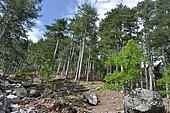 Laricion Pine (Pinus nigra var. maritima) forest, Gorges de l'Asco, Regional Natural Park of Corsica.