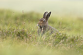 Mountain hare (Lepus timidus) amongst grasses and heather, Scotland