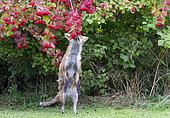 Red fox (Vulpes vulpes) feeding on Guelder rose (Viburnum opulus), England