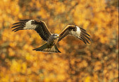 Red kite (Milvus milvus) in flight amongst autumn colours, Wales