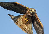 Red kite (Milvus milvus) in flight, Wales