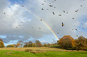 Red kite (Milvus milvus) in flight in front of a rainbow, Wales