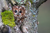 Tawny Owl (Strix aluco) emerging from the head of an old apple tree, Normandy, France