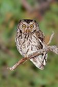 Whiskered Screech Owl (Megascops trichopsis), Arizona, USA