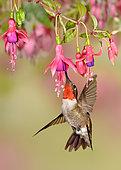 Ruby-throated Hummingbird (Archilochus colubris), Texas, USA