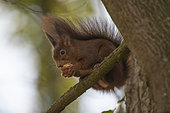 Red squirrel (Sciurus vulgaris) eating a walnut, Lorraine, France