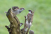 House Sparrow (Passer domesticus), altercation at the feeder in winter, Lorraine, France