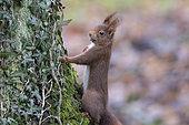 Red squirrel (Sciurus vulgaris) on a trunk, Lorraine, France