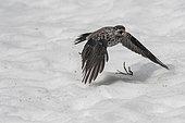 Spotted Nutcracker (Nucifraga caryocatactes) flying away with an hazelnut, Valais, Switzerland