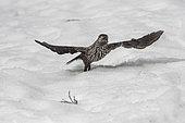 Spotted Nutcracker (Nucifraga caryocatactes) flying away in snow, Valais, Switzerland