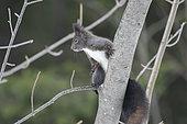 Red squirrel (Sciurus vulgaris) on a branch, Valais, Switzerland