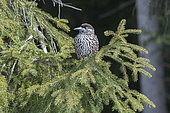 Spotted Nutcracker (Nucifraga caryocatactes) on a branch, Valais, Switzerland