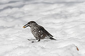 Spotted Nutcracker (Nucifraga caryocatactes) swallowing a walnut kernel in the snow, Valais, Switzerland