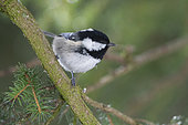 Coal Tit (Periparus ater) on a branch, Valais, Switzerland