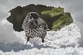Spotted Nutcracker (Nucifraga caryocatactes) on snow, Valais, Switzerland