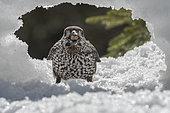 Spotted Nutcracker (Nucifraga caryocatactes) with an hazelnut on snow, Valais, Switzerland