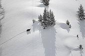 Alpine Chamois (Rupicapra rupicapra) in a snowy mountain landscape, Valais, Switzerland