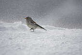 White-winged Snowfinch (Montifringilla nivalis) walking in the snow, Alps, Switzerland