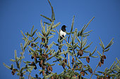 Eurasian Magpie (Pica pica), perched on top of a spruce, Lorraine, France