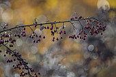 Hawthorn (Crataegus monogyna) berries in autumn, Lorraine, France
