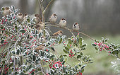 House Sparrow (Passer domesticus) group on a holly in winter, Lorraine, France