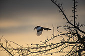 Black-billed Magpie (Pica pica) in flight at dawn with a walnut in the beak, Lorraine, France