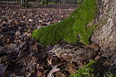 Woodcock (Scolopax rusticola) in dead leaves at the foot of a tree, Lorraine, France