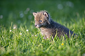 Red fox (Vulpes vulpes) 15 days old in the grass, Lorraine, France