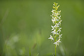 Lesser butterfly orchid (Platanthera bifolia), Lorraine, France