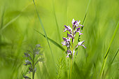 Military Orchid (Orchis militaris), Lorraine, France
