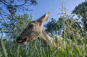 Roe deer (Capreolus capreolus) in the grass, Lorraine, France