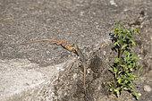 Common wall lizard (Podarcis muralis), two male fighting, Lorraine, France