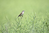 Common Whitethroat (Sylvia communis) in a rapeseed field, Lorraine, France