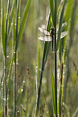 Black-tailed skimmer (Orthetrum cancellatum) on reed, Ried, Erstein, Alsace, France