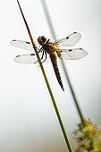 Four-spotted skimmer (Libellula quadrimaculata) on a stem, Erstein, Alsace, France