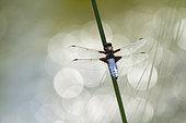 Eurasian red dragonfly (Sympetrum depressiusculum) on a stem, Erstein, Alsace, France