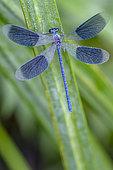 Banded demoiselle (Calopteryx splendens) on leaf, Rhenish Forest, Erstein, Alsace, France , Erstein, Alsace, France