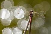 Dragonfly (Sympetrum sp) on a stem, Erstein, Alsace, France