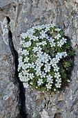Rock jasmine (Androsace cylindrica) on rock, Pyrenees, France