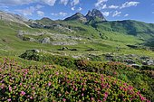 Alpen Rose (Rhododendron ferrugineum) in bloom in the circus of Aneou, Ossau Valley, Pyrenees, France